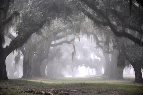 The Greenwood Plantation's Oak Alley on a Misty Morning
